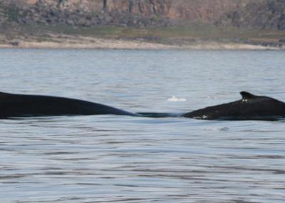 GROENLANDIA ILULISSAT aventura ballena fiordo