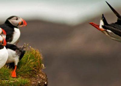 Islandia gran vuelta frailecillos aves ornitología
