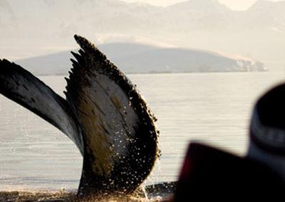 Ballenas_Antartida