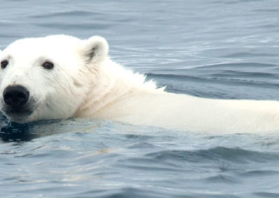 Oso-crucero-Svalbard