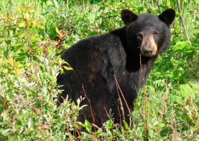 Ontario-animales-Oso-negro