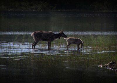 Laponia renos verano