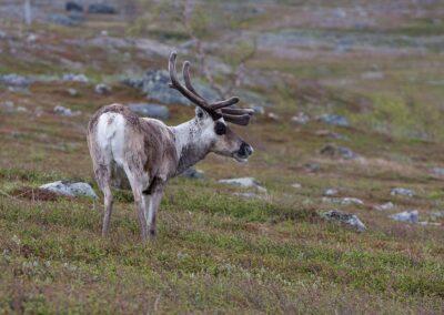 Renos Kungsleden Laponia