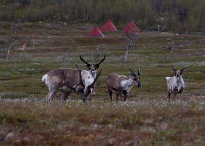 Renos Laponia sueca