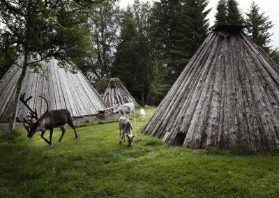 Sami Laponia renos